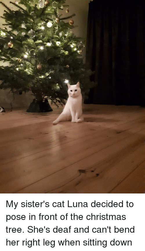 sitting down: My sister's cat Luna decided to pose in front of the christmas tree. She's deaf and can't bend her right leg when sitting down