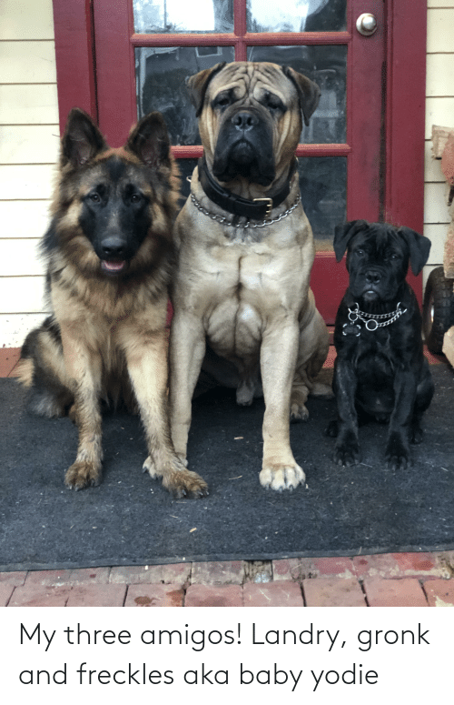 gronk: My three amigos! Landry, gronk and freckles aka baby yodie