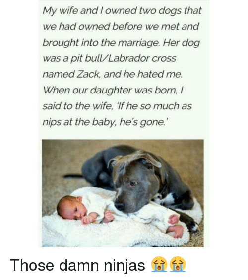 Dogs, Marriage, and Memes: My wife and I owned two dogs that  we had owned before we met and  brought into the marriage. Her dog  was a pit bull/Labrador cross  named Zack, and he hated me.  When our daughter was born,  said to the wife, 'If he so much as  nips at the baby, he's gone. Those damn ninjas 😭😭