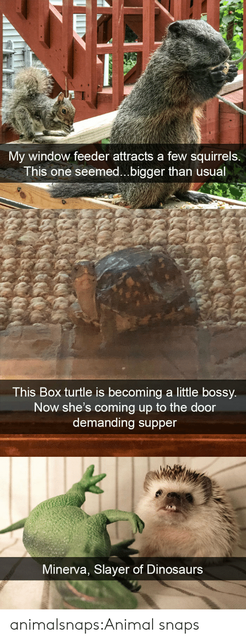 feeder: My window feeder attracts a few squirrels.  This one seemed...bigger than usual   This Box turtle is becoming a little bossy  Now she's coming up to the door  demanding supper   Minerva, Slayer of Dinosaurs animalsnaps:Animal snaps