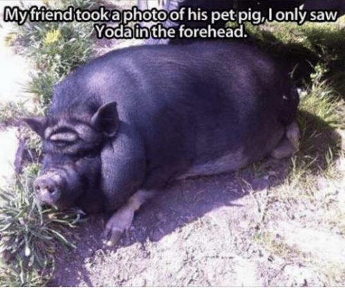 Pigly: Myfriend tooka photoof his pet pig, lonly saw  Yodainthe forehead.