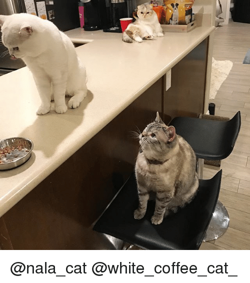Cats, Memes, and Coffee: @nala_cat @white_coffee_cat_