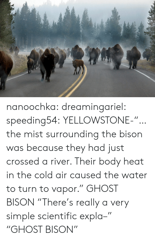 """bison: nanoochka:  dreamingariel:  speeding54:  YELLOWSTONE-""""…the mist surrounding the bison was because they had just crossed a river. Their body heat in the cold air caused the water to turn to vapor.""""  GHOST BISON  """"There's really a very simple scientific expla–"""" """"GHOST BISON"""""""