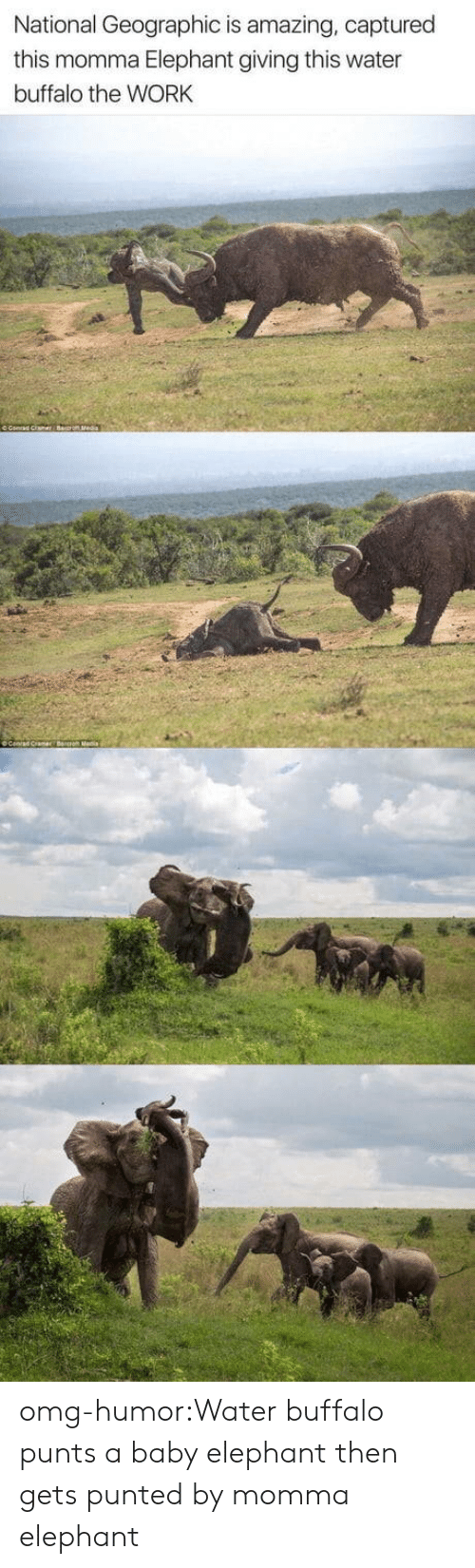 Baby Elephant: National Geographic is amazing, captured  this momma Elephant giving this water  buffalo the WORK omg-humor:Water buffalo punts a baby elephant then gets punted by momma elephant