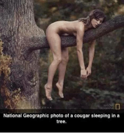 Memes, National Geographic, and Tree: National Geographic photo of a cougar sleeping in a  tree