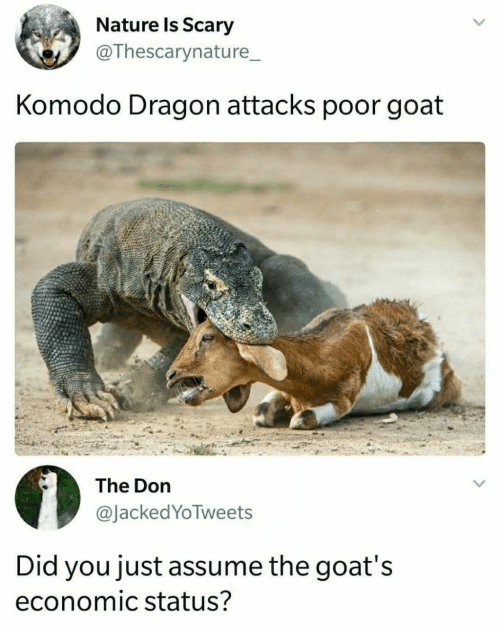 komodo dragon: Nature Is Scary  @Thescarynature_  Komodo Dragon attacks poor goat  The Don  @JackedYoTweets  Did you just assume the goat's  economic status?