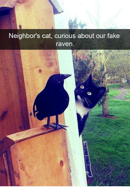 Cats, Fake, and Memes: Neighbors cat, curious about our fake  raven