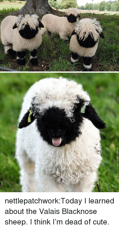 today i learned: nettlepatchwork:Today I learned about the Valais Blacknose sheep. I think I'm dead of cute.