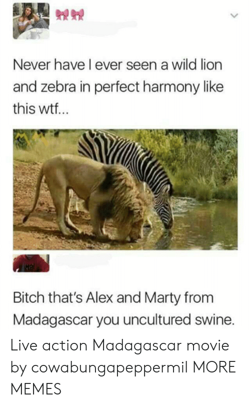 Live Action: Never have I ever seen a wild lion  and zebra in perfect harmony like  this wtf..  Bitch that's Alex and Marty from  Madagascar you uncultured swine. Live action Madagascar movie by cowabungapeppermil MORE MEMES