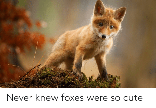 foxes: Never knew foxes were so cute