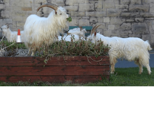 new kids on the block: New kids on the block: Welsh town invaded by goats