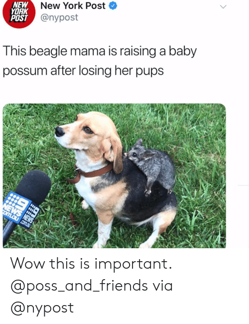 Possum: New York Post  NEW  YORK  POST @nypost  This beagle mama is raising a baby  possum after losing her pups  NEWS NEWS  omLaucom.au Wow this is important. @poss_and_friendsvia @nypost