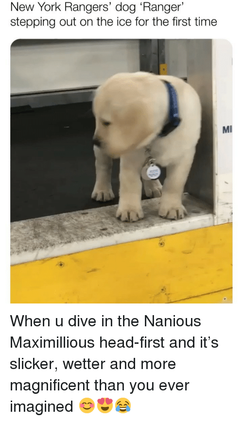 Rangers: New York Rangers' dog 'Ranger'  stepping out on the ice for the first time  MI When u dive in the Nanious Maximillious head-first and it's slicker, wetter and more magnificent than you ever imagined 😊😍😂