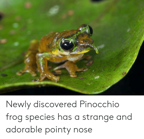 Frog Species: Newly discovered Pinocchio frog species has a strange and adorable pointy nose