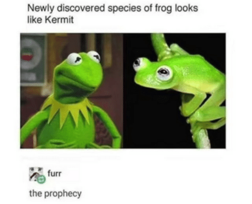 kermit: Newly discovered species of frog looks  like Kermit  furr  the prophecy