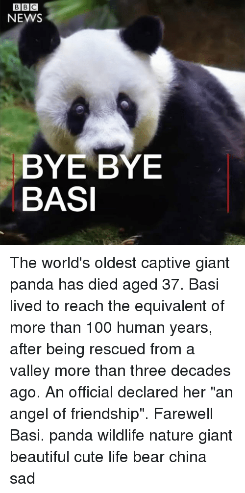 "humanism: NEWS  BYE BYE  BASI The world's oldest captive giant panda has died aged 37. Basi lived to reach the equivalent of more than 100 human years, after being rescued from a valley more than three decades ago. An official declared her ""an angel of friendship"". Farewell Basi. panda wildlife nature giant beautiful cute life bear china sad"