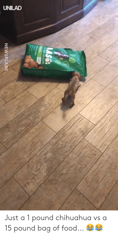 chihuahua: NEWSFLARE Just a 1 pound chihuahua vs a 15 pound bag of food... 😂😂