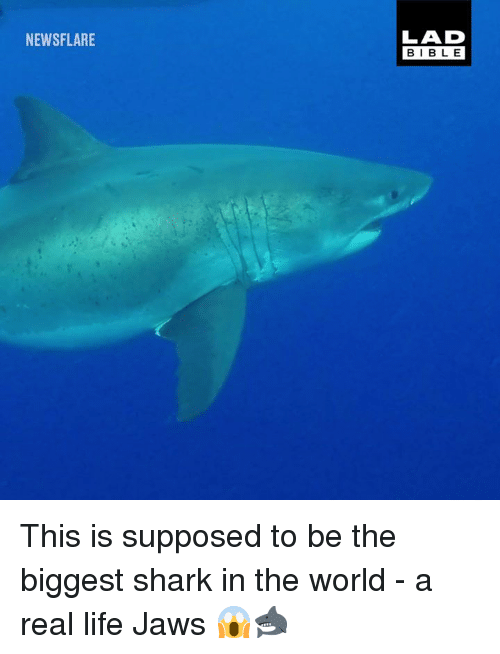 jaws: NEWSFLARE  LAD  BIBLE This is supposed to be the biggest shark in the world - a real life Jaws 😱🦈