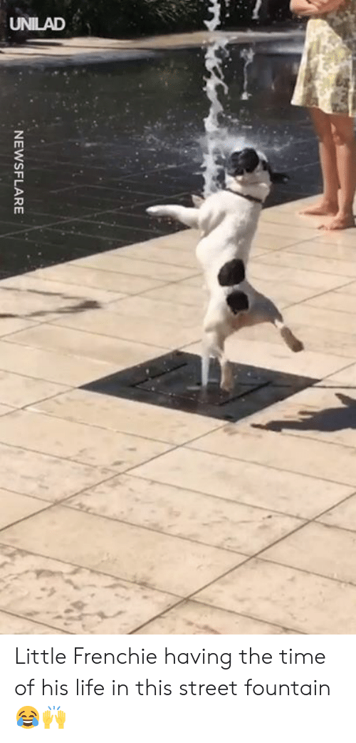 Frenchie: NEWSFLARE Little Frenchie having the time of his life in this street fountain 😂🙌