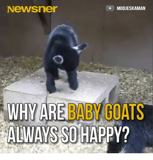 Memes, Goat, and Baby Goat: Newsner  MODJESKAMAN  WHY ARE  BABY GOATS  ALWAYS SO HAPPY?