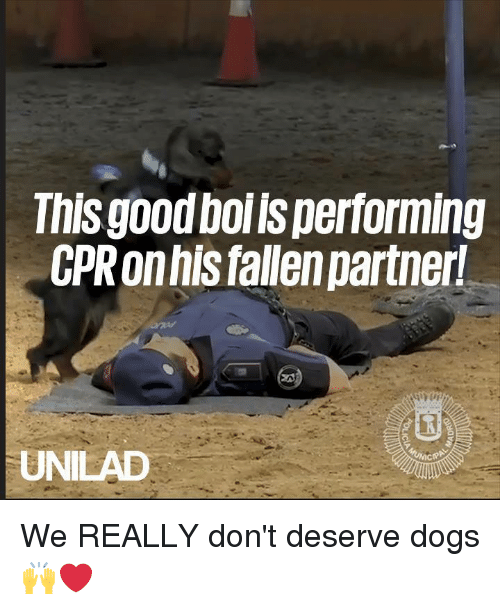 cpr: nisgood boi ls performing  CPR onhis fallen partner  UNILAD We REALLY don't deserve dogs 🙌❤️
