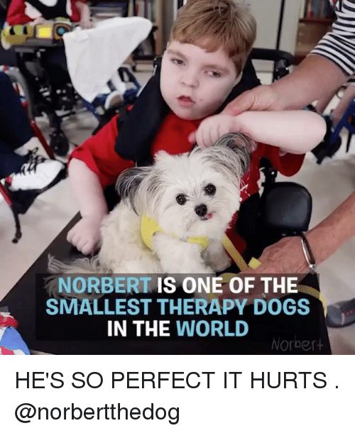 Dogs, Memes, and World: NORBERT IS ONE OF THE  SMALLEST THERAPY DOGS  IN THE WORLD  Norbert HE'S SO PERFECT IT HURTS . @norbertthedog