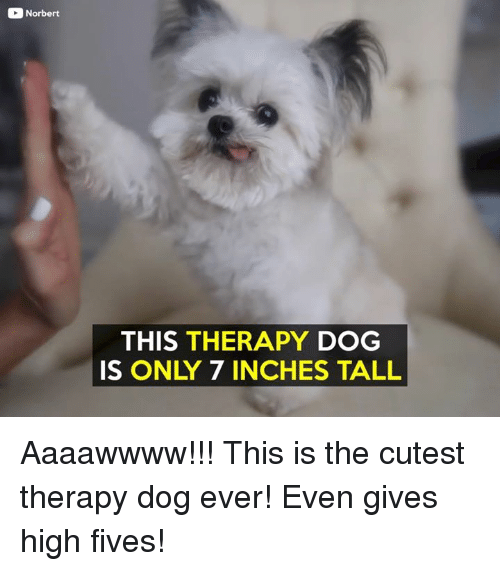 7 Inches: Norbert  THIS THERAPY DOG  IS ONLY 7 INCHES TALL Aaaawwww!!! This is the cutest therapy dog ever! Even gives high fives!
