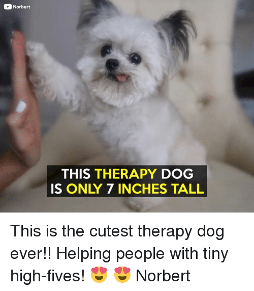 7 Inches: Norbert  THIS THERAPY DOG  IS ONLY 7 INCHES TALL This is the cutest therapy dog ever!! Helping people with tiny high-fives! 😍 😍  Norbert