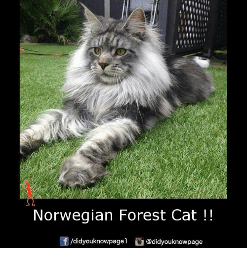 norwegian forest cat: Norwegian Forest Cat  /didyouknowpage1  @didyouknowpage