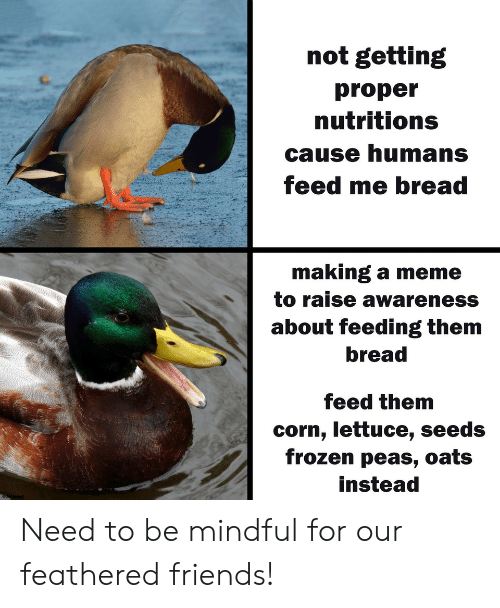 oats: not getting  proper  nutritions  cause humans  feed me bread  making a meme  to raise awareness  about feeding them  bread  feed them  corn, lettuce, seeds  frozen peas, oats  instead Need to be mindful for our feathered friends!