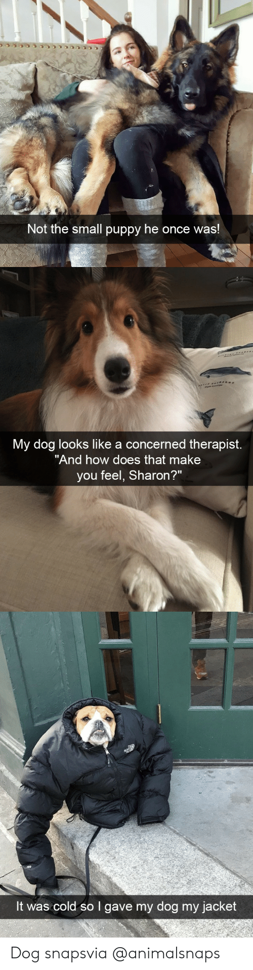 "How Does That Make You Feel: Not the small puppy he once was!   My dog looks like a concerned therapist.  ""And how does that make  you feel, Sharon?   It was cold so I gave my dog my jacket Dog snapsvia @animalsnaps"