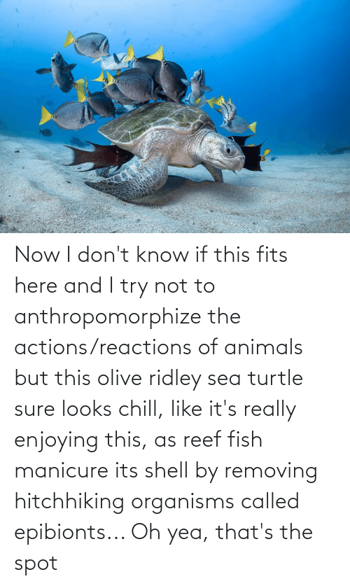 reactions: Now I don't know if this fits here and I try not to anthropomorphize the actions/reactions of animals but this olive ridley sea turtle sure looks chill, like it's really enjoying this, as reef fish manicure its shell by removing hitchhiking organisms called epibionts... Oh yea, that's the spot