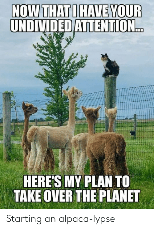 Alpaca: NOW THAT I HAVE YOUR  UNDIVIDED ATTENTION...  HERE'S MY PLAN TO  TAKE OVER THE PLANET Starting an alpaca-lypse