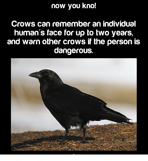 Memes, Individualism, and 🤖: now you kno!  Crows can remember an individual  human's face for up to two years,  and warn other crows if the person is  dangerous.