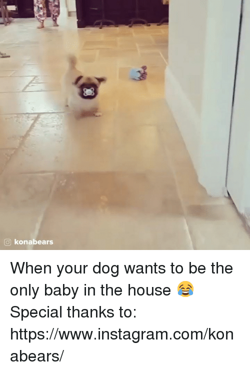 Instagram, Memes, and House: o konabears When your dog wants to be the only baby in the house 😂  Special thanks to: https://www.instagram.com/konabears/