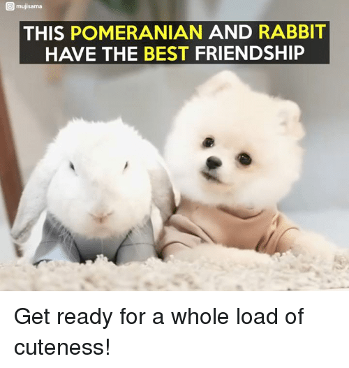 Mujis: O muji sama  THIS POMERANIAN AND RABBIT  HAVE THE BEST FRIENDSHIP Get ready for a whole load of cuteness!