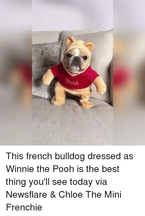 french bulldog: o of This french bulldog dressed as Winnie the Pooh is the best thing you'll see today   via Newsflare & Chloe The Mini Frenchie