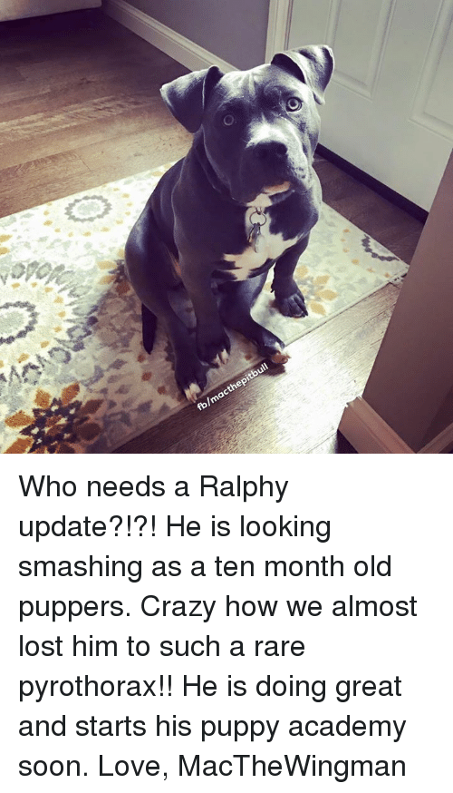 Ralphie: O  stone  fb/m  acthep  itbull Who needs a Ralphy update?!?! He is looking smashing as a ten month old puppers. Crazy how we almost lost him to such a rare pyrothorax!! He is doing great and starts his puppy academy soon.   Love, MacTheWingman