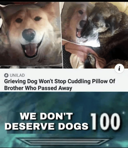 Wont Stop: O UNILAD  Grieving Dog Won't Stop Cuddling Pillow Of  Brother Who Passed Away  WE DON'T  DESERVE DOGS