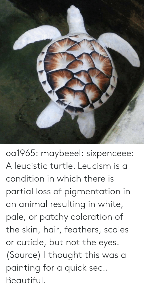 Feathers: oa1965: maybeeel:  sixpenceee:  Aleucisticturtle. Leucismis a condition in which there is partial loss of pigmentation in an animal resulting in white, pale, or patchy coloration of the skin, hair, feathers, scales or cuticle, but not the eyes. (Source)  I thought this was a painting for a quick sec..   Beautiful.