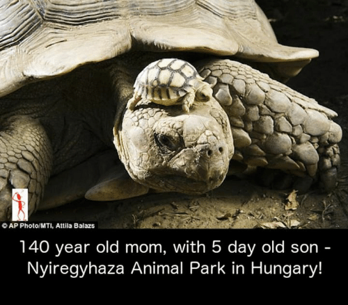 attila: OAP Photo/MTI, Attila Balazs  140 year old mom, with 5 day old son -  Nyiregyhaza Animal Park in Hungary!