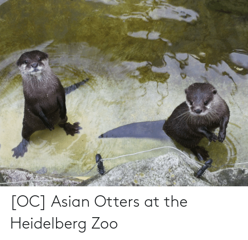 Otters: [OC] Asian Otters at the Heidelberg Zoo