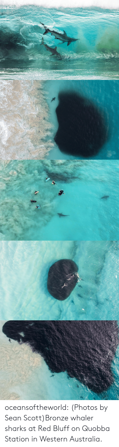 organic: oceansoftheworld:  (Photos by Sean Scott)Bronze whaler sharks at   Red Bluff on Quobba Station in Western Australia.