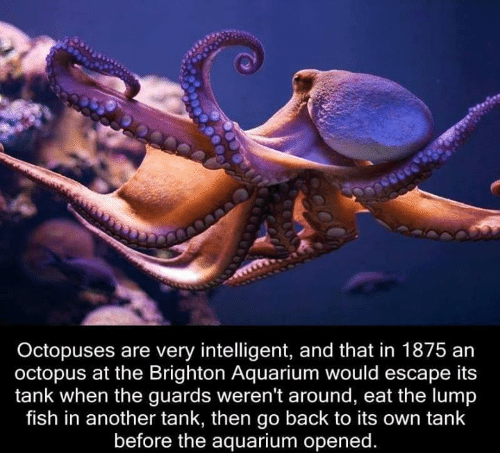 Octopuses are very intelligent and that in 1875 an octopus for Octopus fish tank