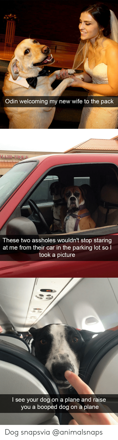 Odin: Odin welcoming my new wife to the pack   These two assholes wouldn't stop staring  at me from their car in the parking lot sol  took a picture   I see your dog on a plane and raise  you a booped dog on a plane Dog snapsvia @animalsnaps