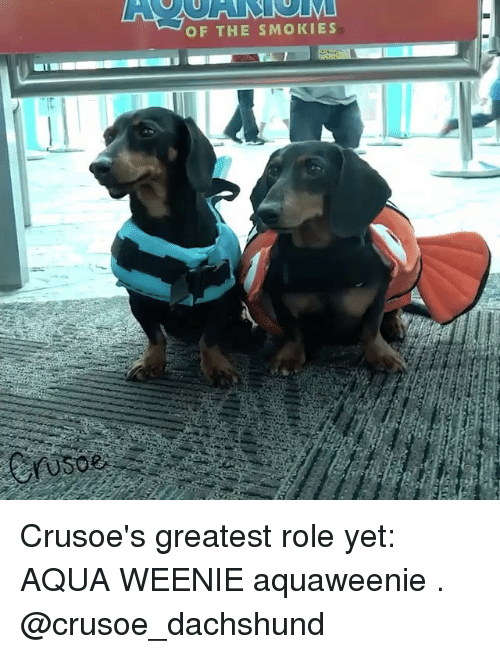 Memes, 🤖, and Aqua: OF THE SMOKIES Crusoe's greatest role yet: AQUA WEENIE aquaweenie . @crusoe_dachshund