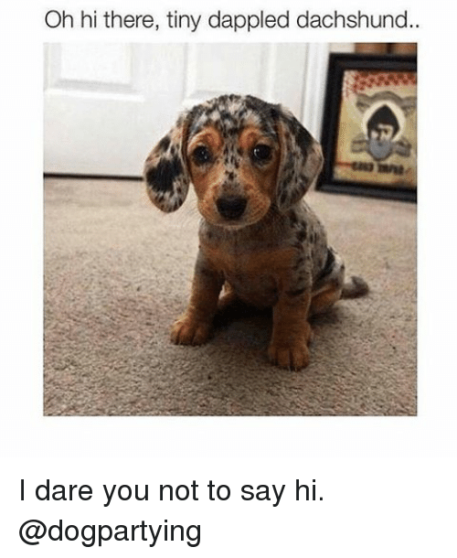 Memes, 🤖, and Dare: Oh hi there, tiny dappled dachshund I dare you not to say hi. @dogpartying