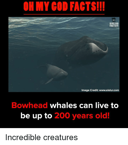 Bailey Jay, Facts, and Memes: OH MY COD FACTS!!!  OH MY COD  FACTS!!!  Image Credit: www.elelur.com  Bowhead whales can live to  be up to 200 years old! Incredible creatures
