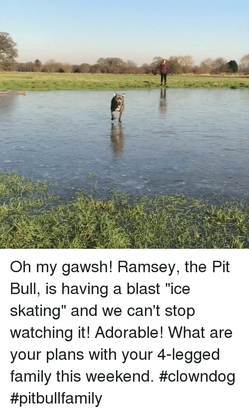 """ice skate: Oh my gawsh! Ramsey, the Pit Bull, is having a blast """"ice skating"""" and we can't stop watching it!  Adorable!  What are your plans with your 4-legged family this weekend.   #clowndog #pitbullfamily"""