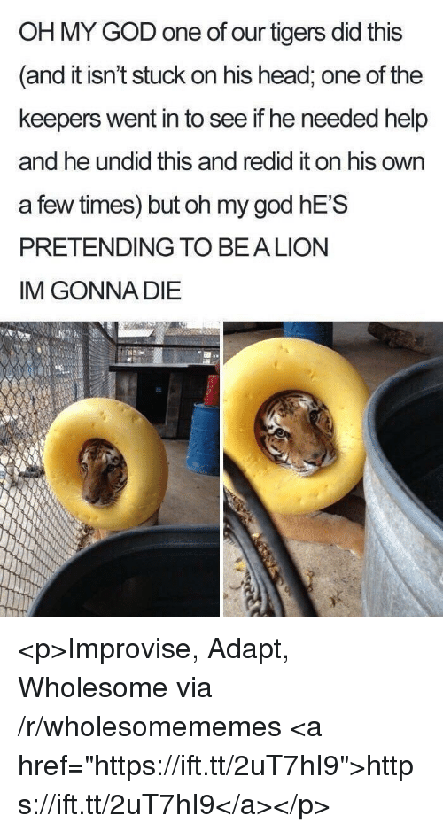 """God, Head, and Oh My God: OH MY GOD one of our tigers did this  and it isn't stuck on his head, one of the  keepers went in to see if he needed help  and he undid this and redid it on his own  a few times) but oh my god hE'S  PRETENDING TO BEA LION  IM GONNA DIE <p>Improvise, Adapt, Wholesome via /r/wholesomememes <a href=""""https://ift.tt/2uT7hI9"""">https://ift.tt/2uT7hI9</a></p>"""